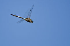 Dragonfly Hunting on the Wing in a Blue Sky Stock Images