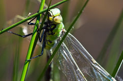 Dragonfly hunts insects Stock Photos