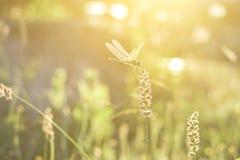 Dragonfly i kwiatu trawa z wieczór słońcem obraz stock