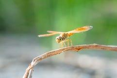 Dragonfly i lato Zdjęcia Stock