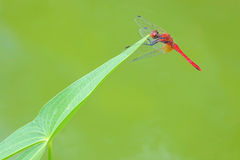 Dragonfly i liść Zdjęcia Stock