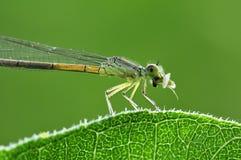 Dragonfly i lotosu liść obraz royalty free