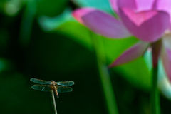 Dragonfly i lutos zdjęcia stock