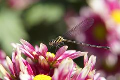 Dragonfly i menchia kwiat obraz royalty free