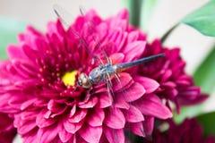 Dragonfly i mum kwiaty dla tło uses Fotografia Stock