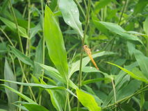 dragonfly i zieleń liść Obrazy Royalty Free