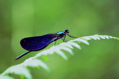 Dragonfly II. Blue dragonfly side view over a fern Royalty Free Stock Image
