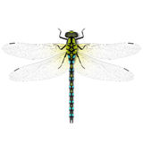 Dragonfly royalty free illustration