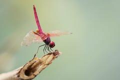 Dragonfly. Royalty Free Stock Photos