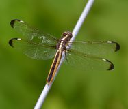 Dragonfly with injured wing Stock Photos
