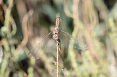 Dragonfly inn IV Royalty Free Stock Photos