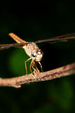 Dragonfly insect Stock Image
