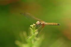 Dragonfly,  insect, animal, nature,macro,bug. Royalty Free Stock Photos