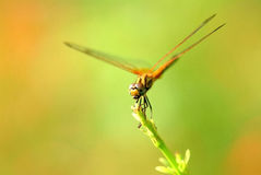 Dragonfly,  insect, animal, nature,macro,bug. Dragonfly insect animal nature macro Royalty Free Stock Image