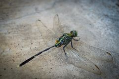 Dragonfly. A dragonfly is an insect belonging to the order Odonata, infraorder Anisoptera stock image