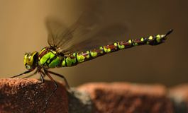 A dragonfly royalty free stock images