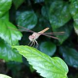 Dragonfly. A dragonfly is an insect belonging to the order Odonata, infraorder Anisoptera. Adult dragonflies are characterized by large, multifaceted eyes, two stock photography