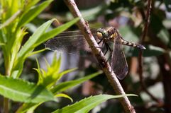 Dragonfly,hunter, hadow of Dragonfly, world of insects royalty free stock images