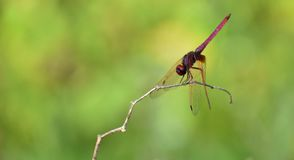 Red dragonfly with green background stock image