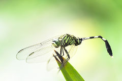 Dragonfly. A dragonfly is an insect belonging to the order Odonata, infraorder Anisoptera from Greek ἄνισος anisos `uneven` and πτερόν pteron, `wing Royalty Free Stock Image