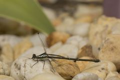 Baby dragonfly resting or posing. A dragonfly is an insect belonging to the order Odonata, infraorder Anisoptera from Greek ἄνισος anisos stock photography