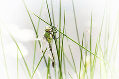 Dragonfly. Is an insect belonging to the order odonata, suborder anisoptera. Insect theme Stock Image