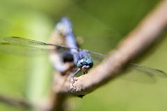 Dragonfly, insect. Dragonfly is on a branch, close-up Stock Images