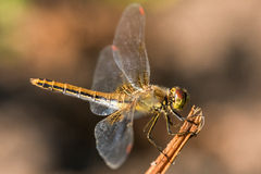 Dragonfly insect branch Royalty Free Stock Photos
