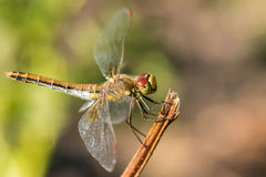 Dragonfly insect branch Stock Images