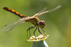 Dragonfly insect branch Stock Photos