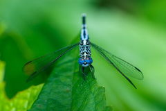 Dragonfly,insect,bug. Royalty Free Stock Image