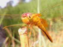 Dragonfly. Insect close up Royalty Free Stock Photography