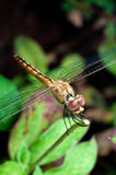 Dragonfly (Insect) Closed Up in Front View Royalty Free Stock Photo