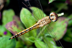 Dragonfly (Insect) Closed Up in Top View Royalty Free Stock Images