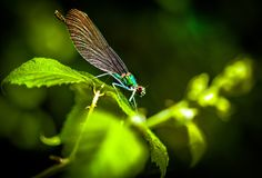 Dragonfly, Insect, Damselfly, Dragonflies And Damseflies royalty free stock image