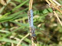 Dragonfly, Insect, Dragonflies And Damseflies, Damselfly stock images