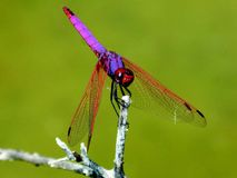 Dragonfly, Insect, Dragonflies And Damseflies, Damselfly royalty free stock images
