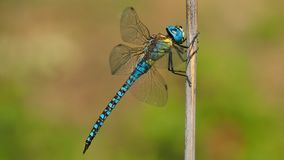Dragonfly, Insect, Dragonflies And Damseflies, Damselfly royalty free stock photo