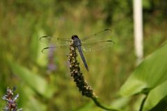 Dragonfly, Insect, Dragonflies And Damseflies, Damselfly stock photography