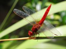 Dragonfly, Insect, Dragonflies And Damseflies, Damselfly Stock Photos