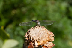 Dragonfly Insect Stock Images
