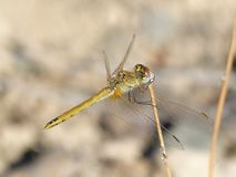 Dragonfly, Insect, Invertebrate, Fauna