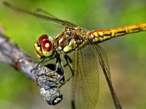 Dragonfly sitting on a branch, narrow focus area stock photo