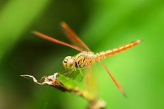Dragonfly. Insect like helicopter and big eye Stock Images