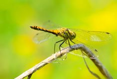 Dragonfly is an insect living near water bodies royalty free stock photos