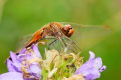 Dragonfly is an insect living near water bodies royalty free stock photography
