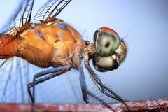 Dragonfly, Insect, Odonata, Macro Royalty Free Stock Photo
