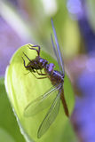 Dragonfly insect of the Odonata order Stock Photography
