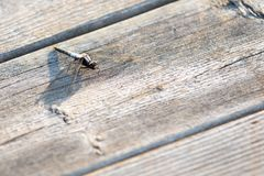 Dragonfly Insect Resting on Wood in the Summer royalty free stock photo