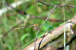 Dragonfly insect sitting in plants Royalty Free Stock Photos